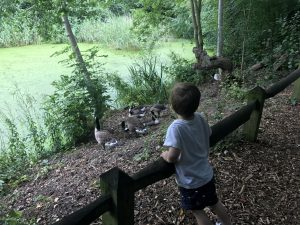 Image of a pond in the background covered in algae. In the foreground there is a small boy leaning on a fence. Between the pond and the boy are a group of geese.