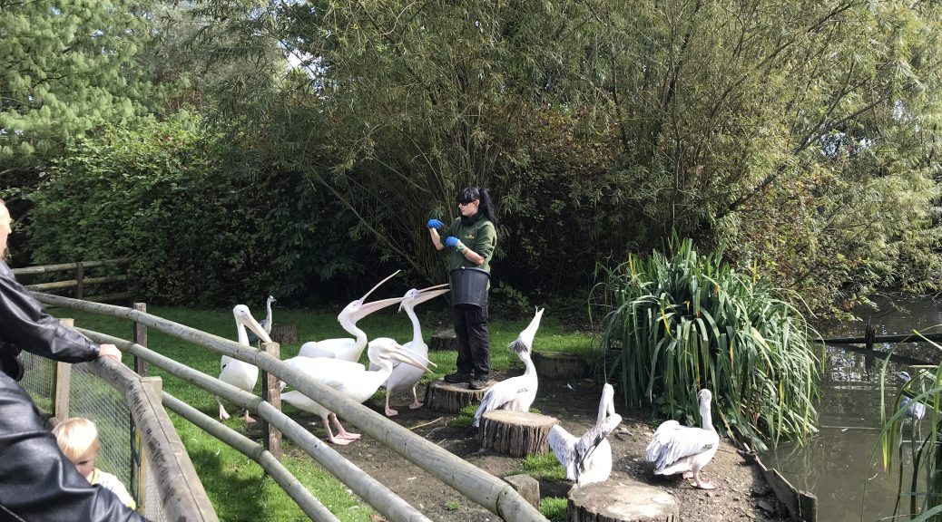 Image of a woman feeding a flock of pelicans at Birdworld
