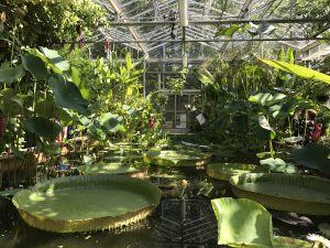 Image of lily pads that are around 1 meter across each, in a greenhouse